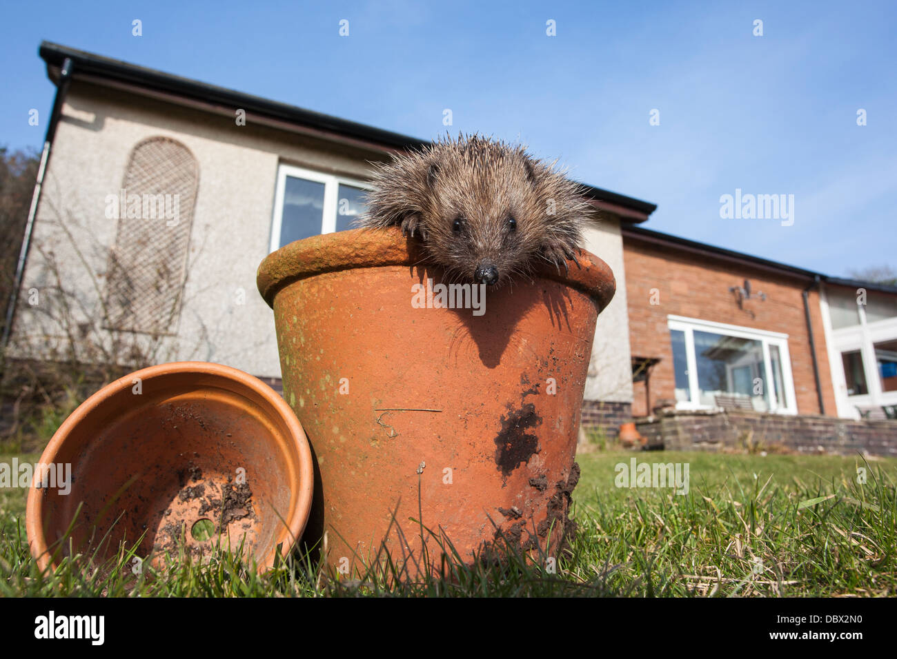 Hedgehog (Erinaceus europaeus), in plant pot, captive, UK, March 2013 - Stock Image