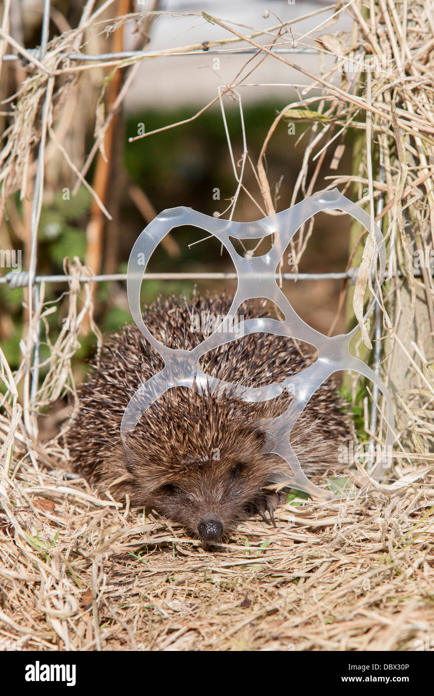 Hedgehog (Erinaceus europaeus), caught in litter (staged), captive, UK, July 2012 - Stock Image