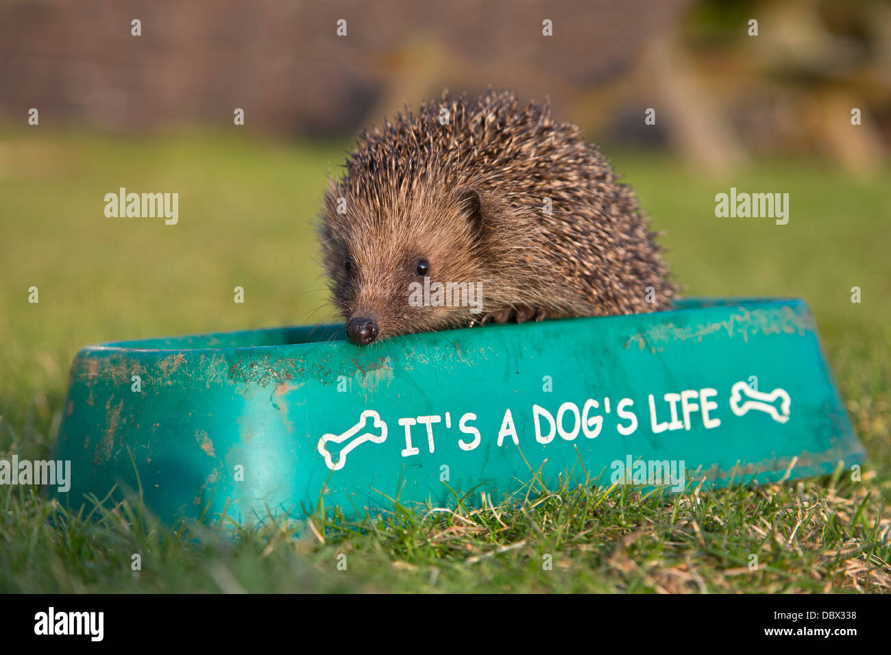 Hedgehog (Erinaceus europaeus), feeding in dog bowl, captive, UK, July 2012 - Stock Image