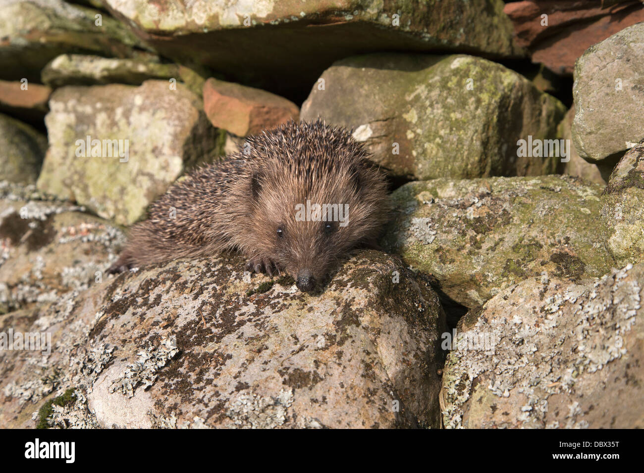 Hedgehog (Erinaceus europaeus), climbing on wall, captive, UK, July 2012 - Stock Image