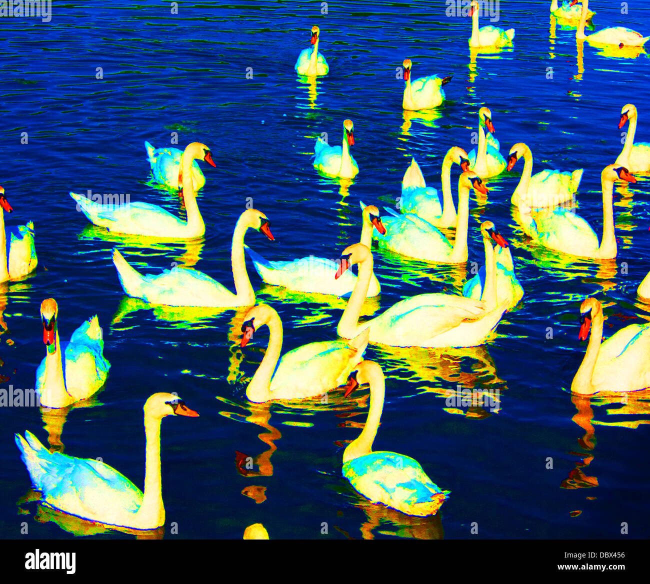 Psychedelic gathering of  mute swans - Stock Image