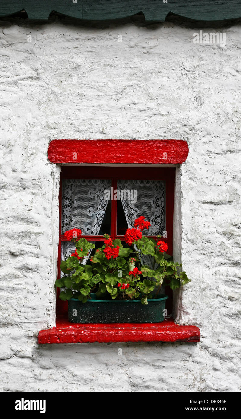 White stucco house, red cottage window box garden flower display outside, and red Geranium flowers, Dingle  Peninsula, - Stock Image