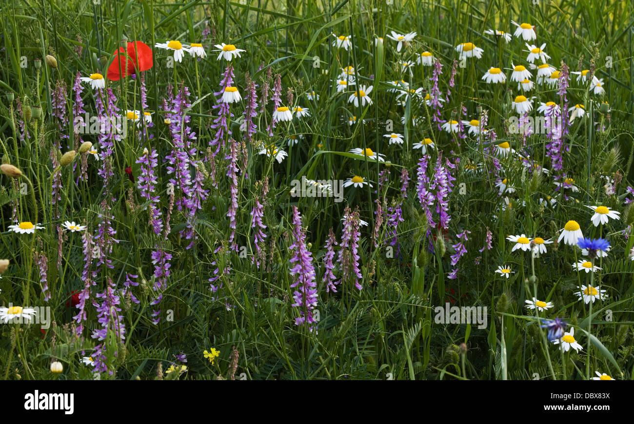 Monti Sibillini - Wild flowers - Stock Image
