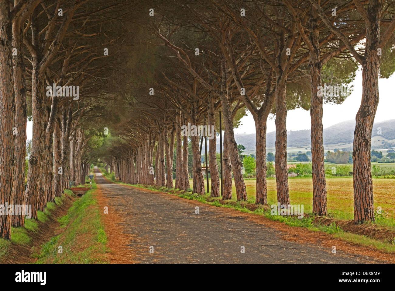 Parco Naturale di Maremma, Pine Avenue - Italy - Stock Image