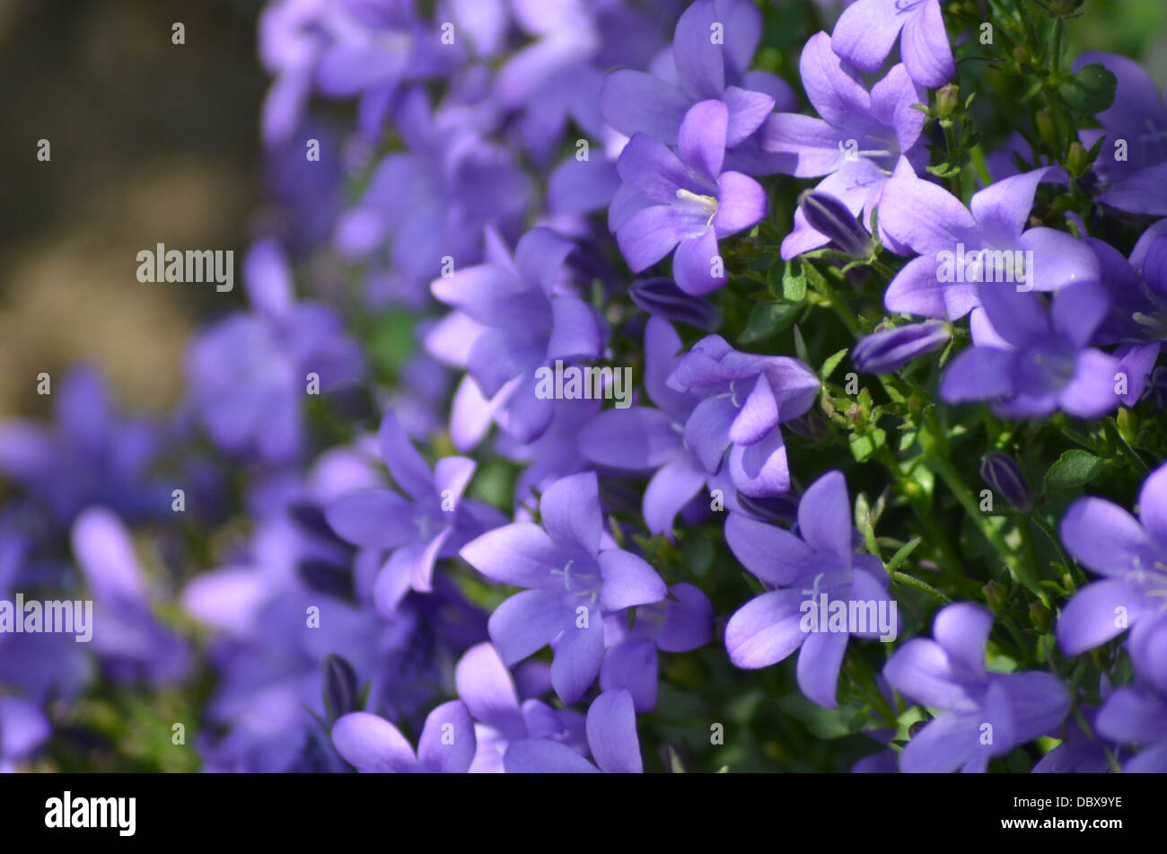 Purple bell flowers stock photos purple bell flowers stock images field of purple bell flowers campanula stock image mightylinksfo