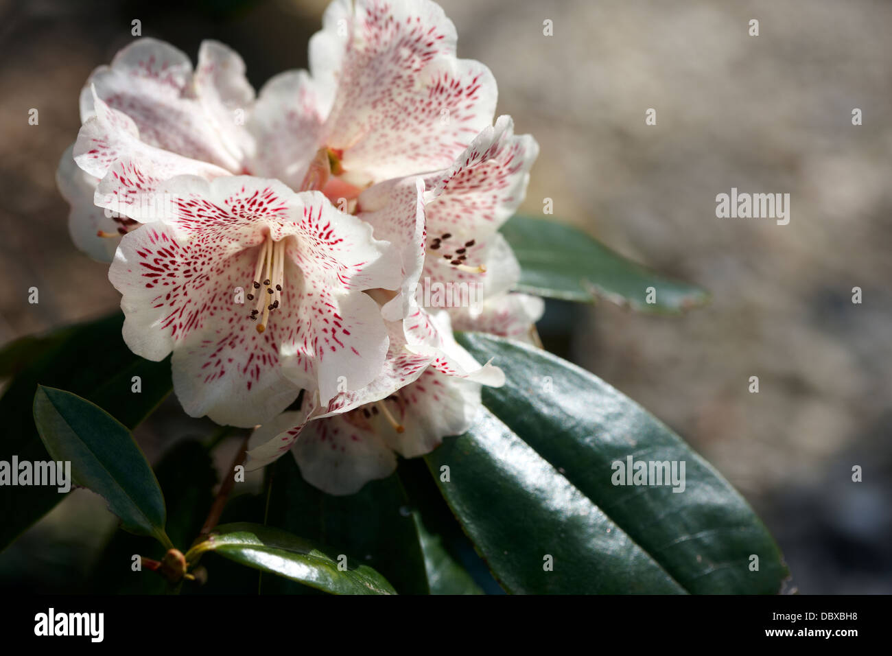 Rhododendron 'Hille' - Stock Image