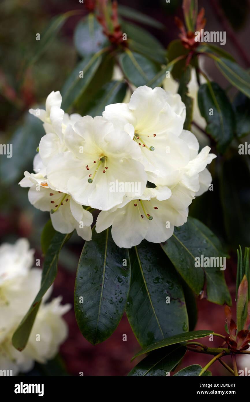 Rhododendron 'Roza Stevenson' Stock Photo