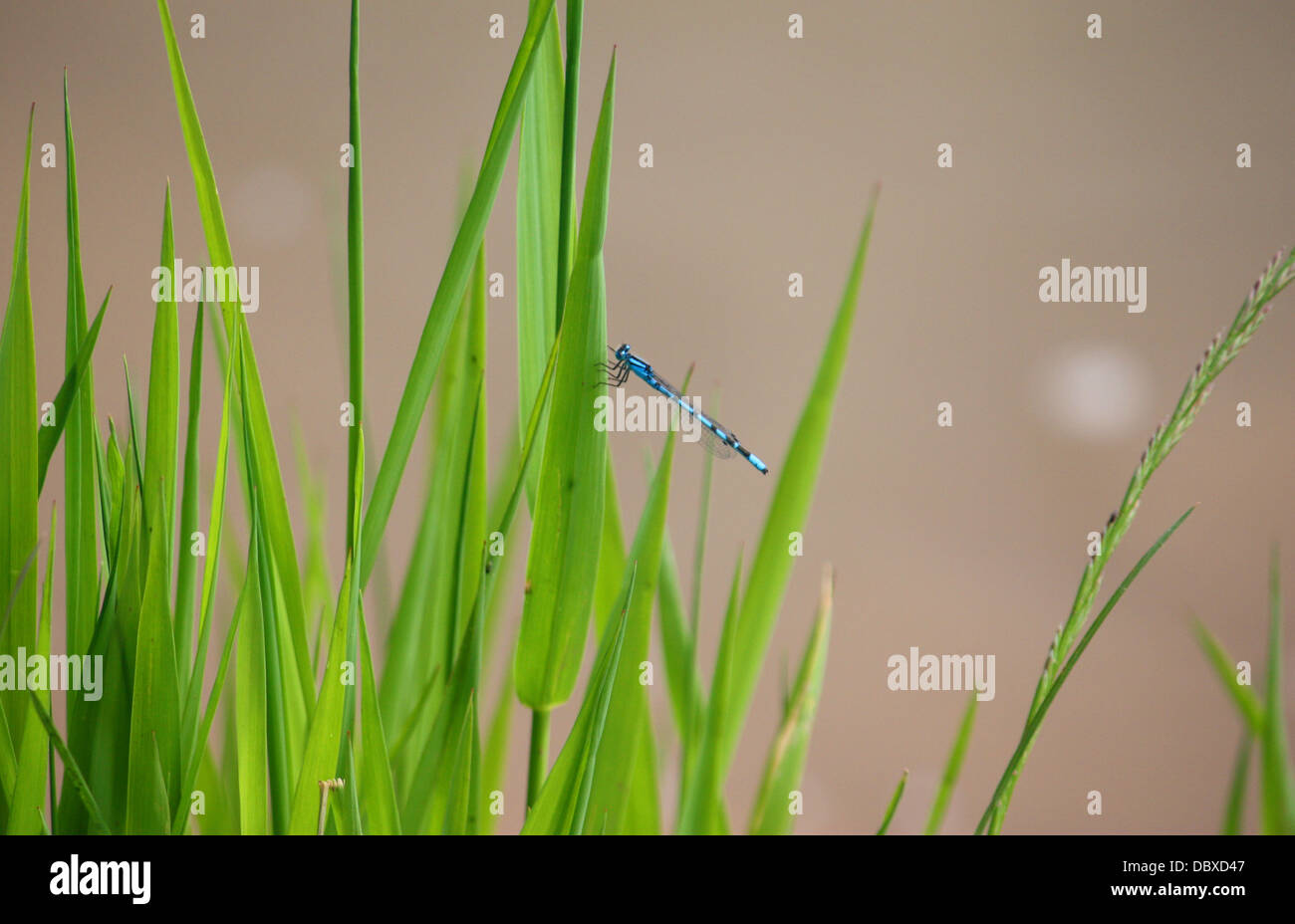 beautiul petrol green blue dragonfly on a blade of grass - Stock Image