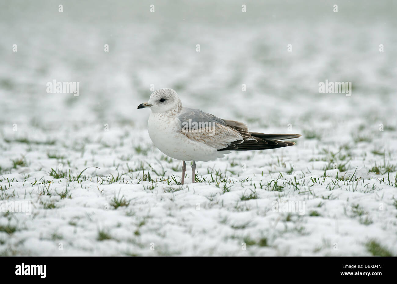 Common Gull 1st winter plumage - Stock Image