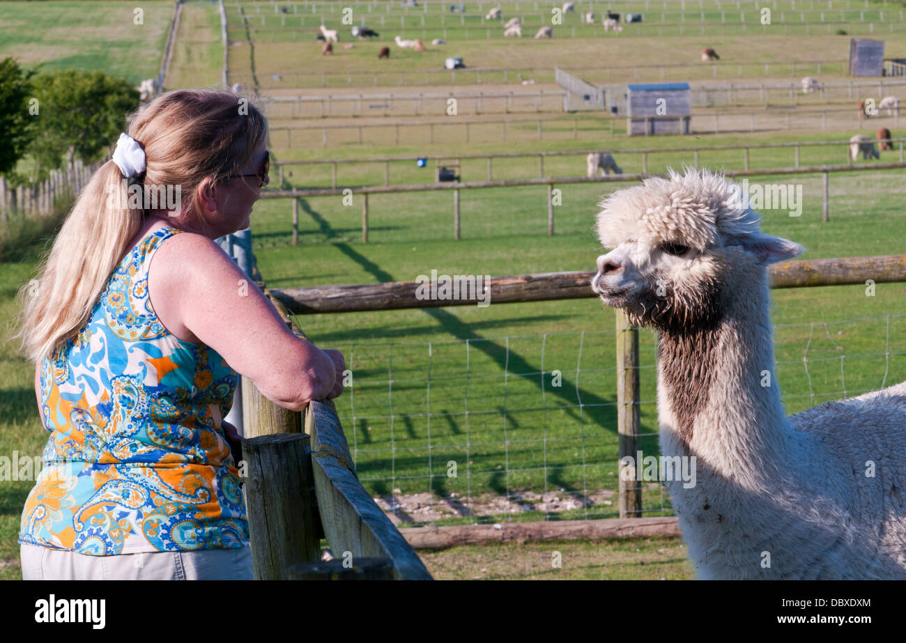 connecting with al paca - Stock Image