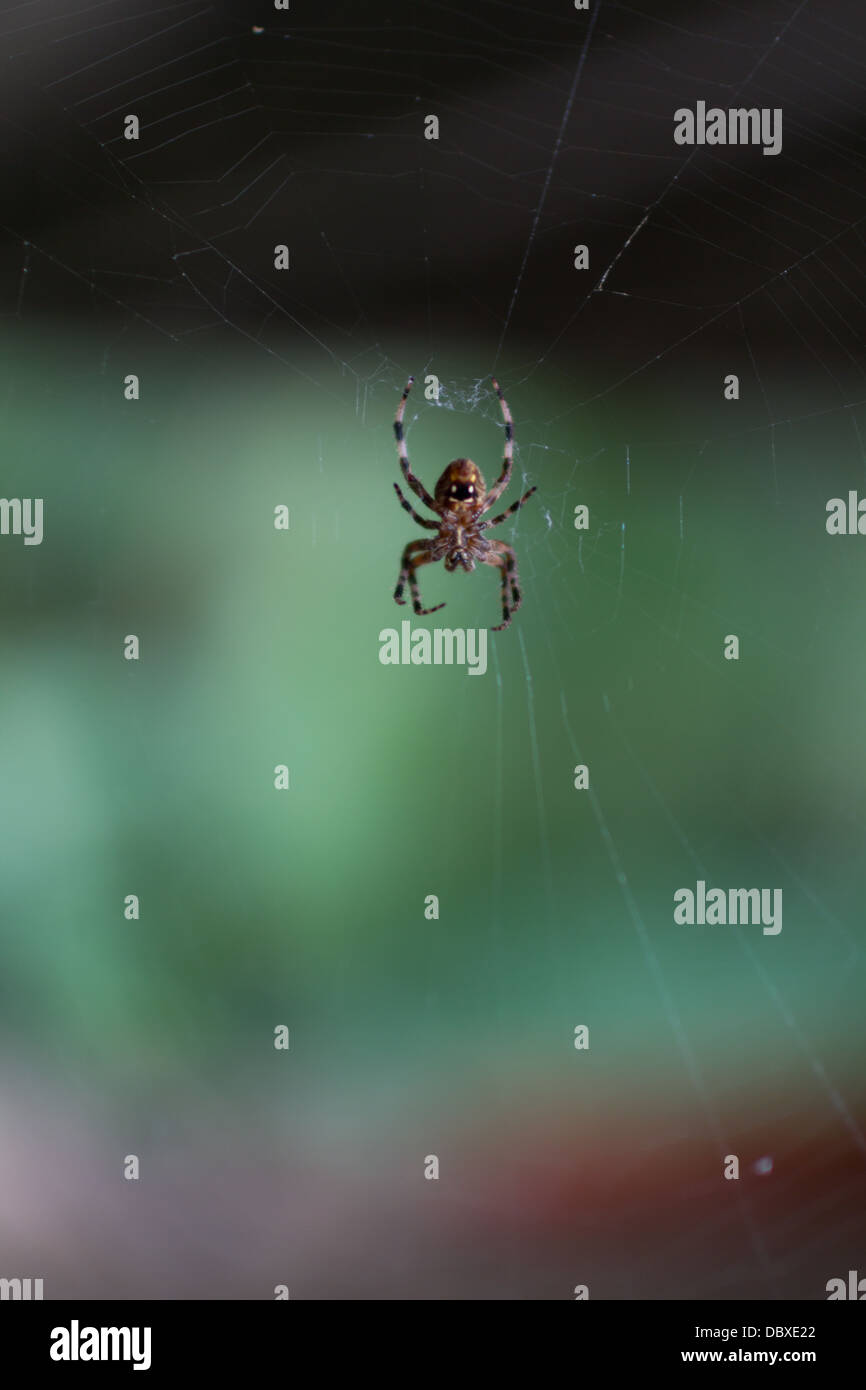 Labyrinth orbweaver spider (metepeira labyrinthea) at the center of its web - Stock Image