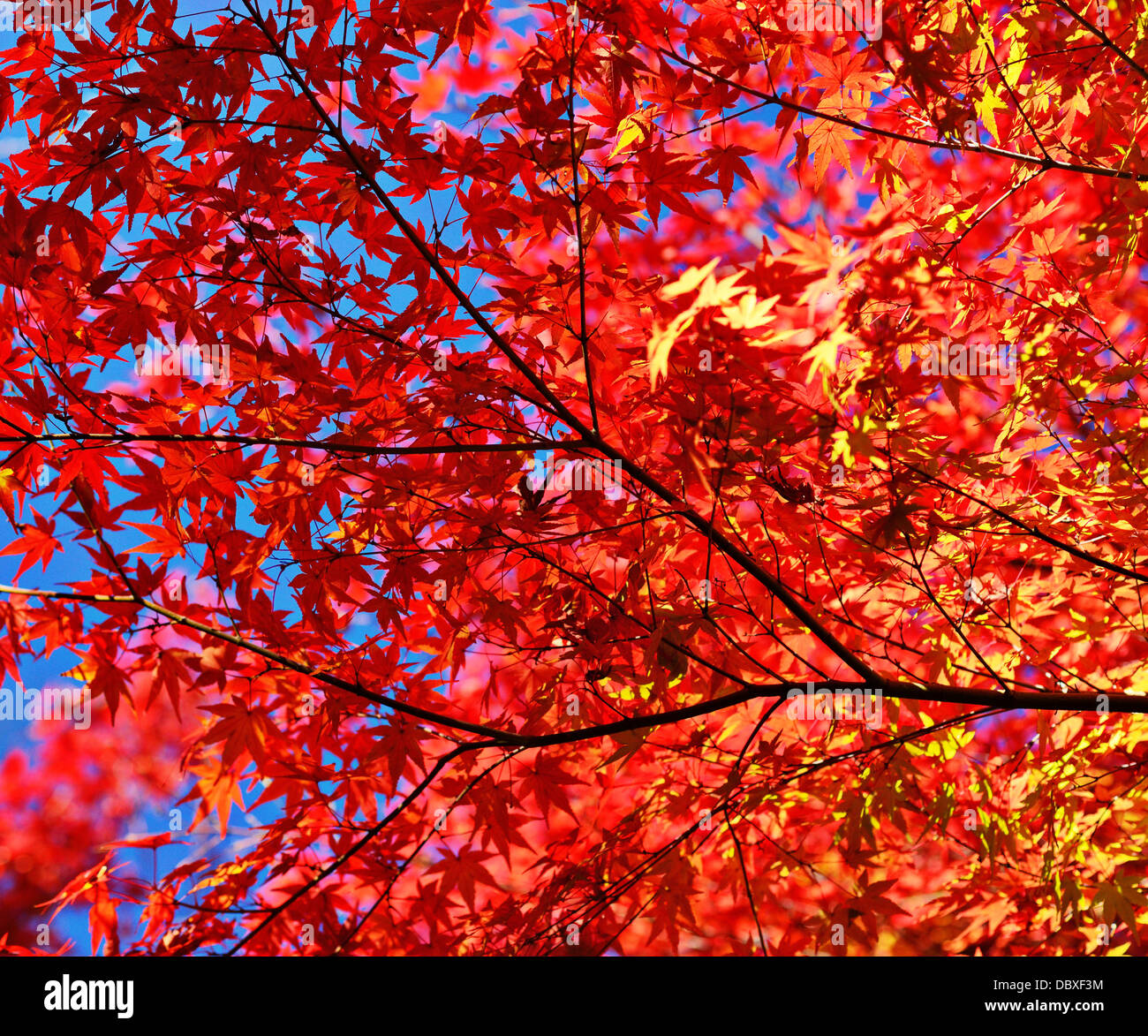 Fall foliage leaves and branches - Stock Image