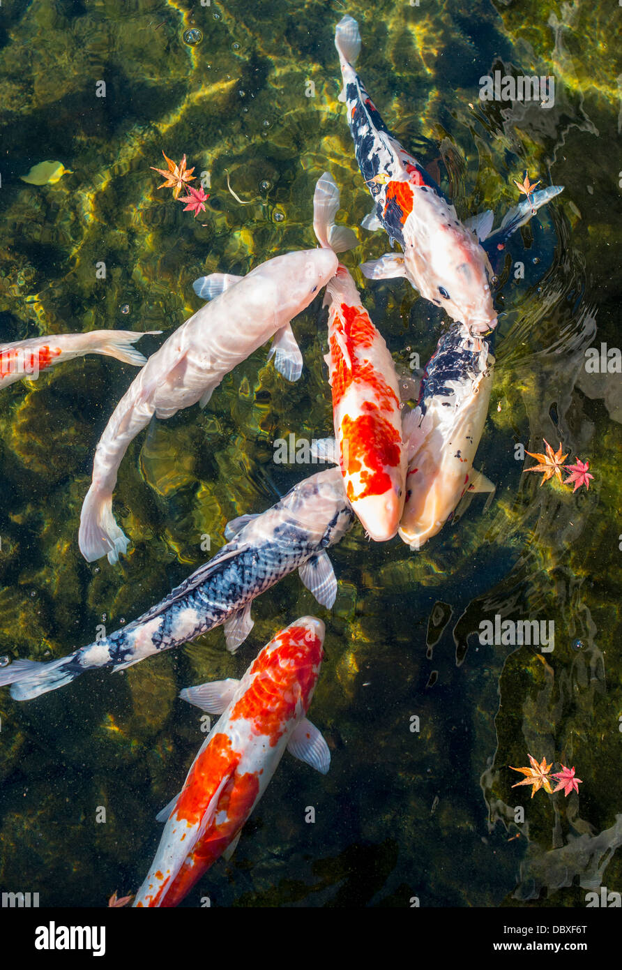 Koi pond in Nagoya, Japan. - Stock Image