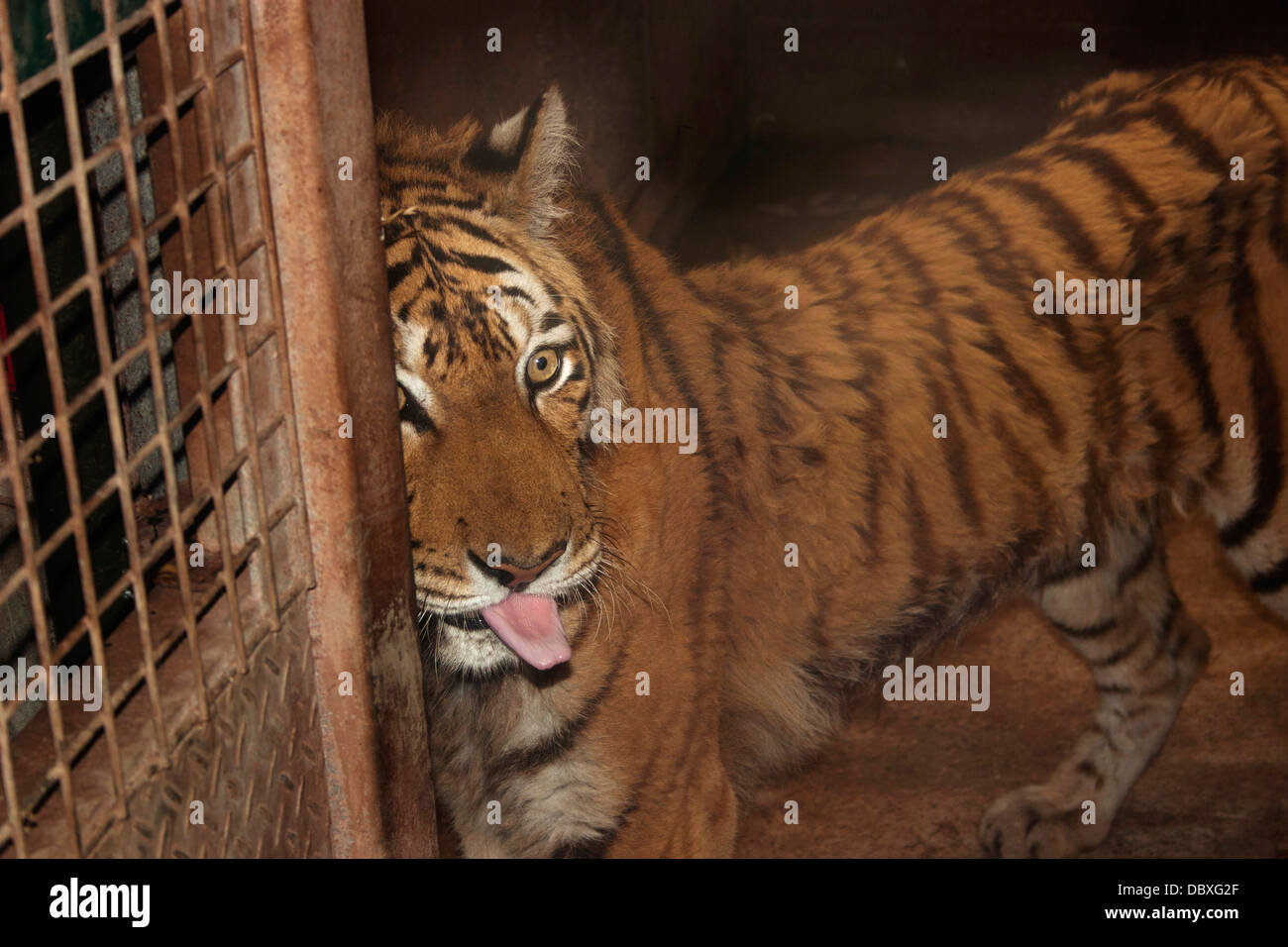 Old and underweight Tiger being kept in captivity Stock Photo