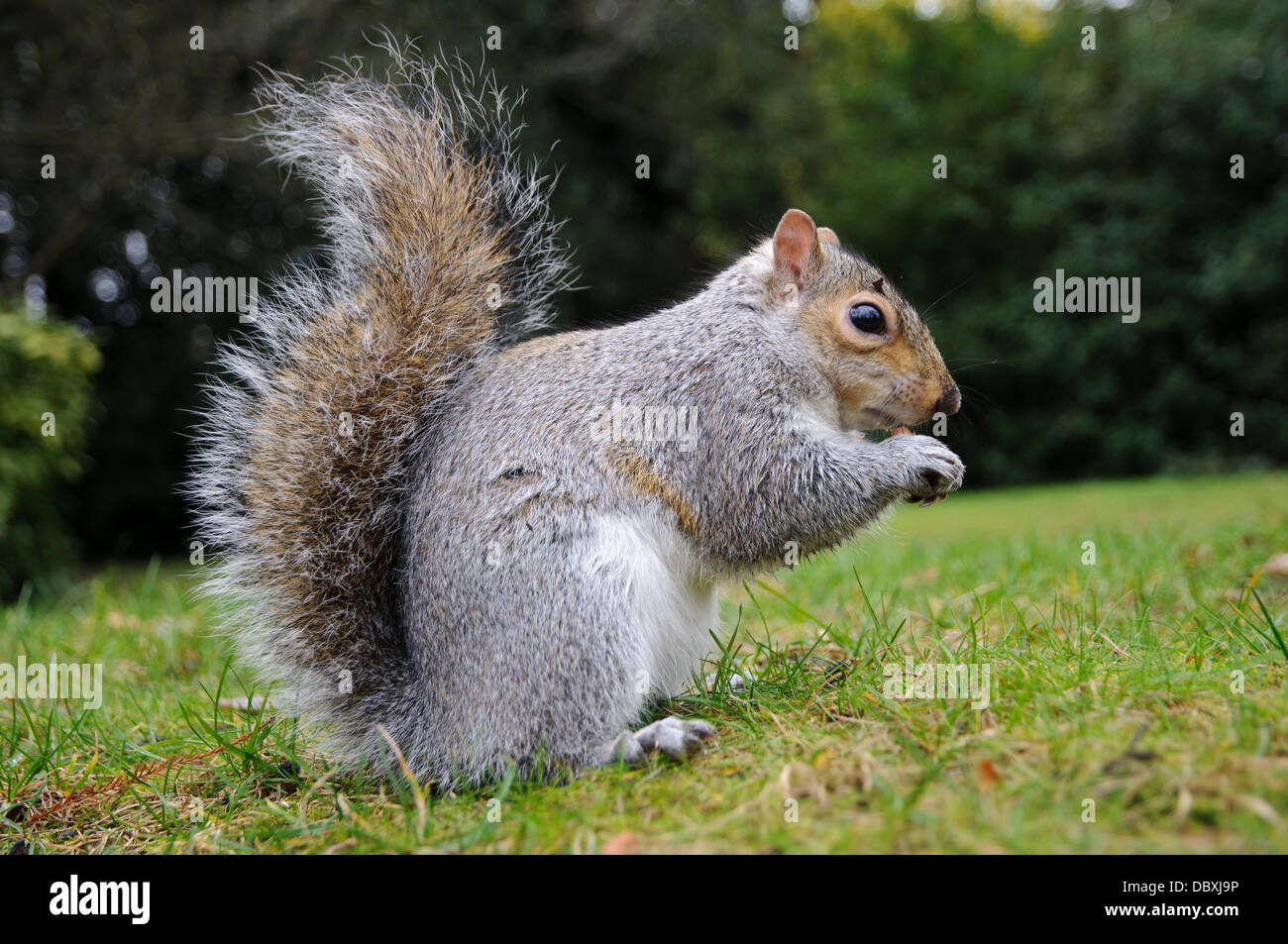 A grey squirrel (Sciurus carolinensis) sitting on the grass and eating a nut in Greenwich Park, London. December. - Stock Image