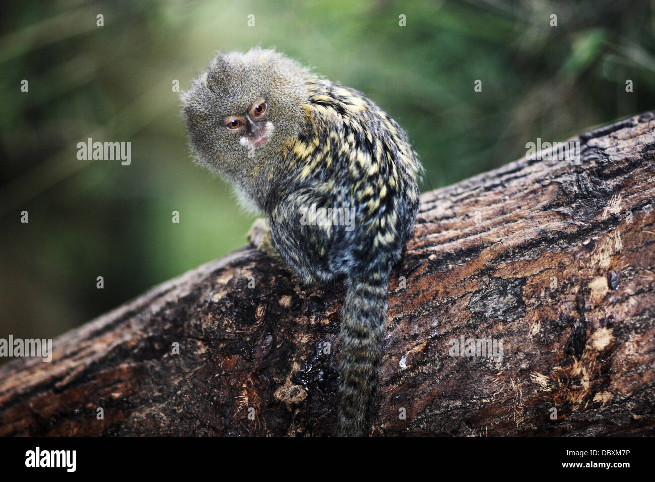 pygmy marmoset coloring pages - photo#40