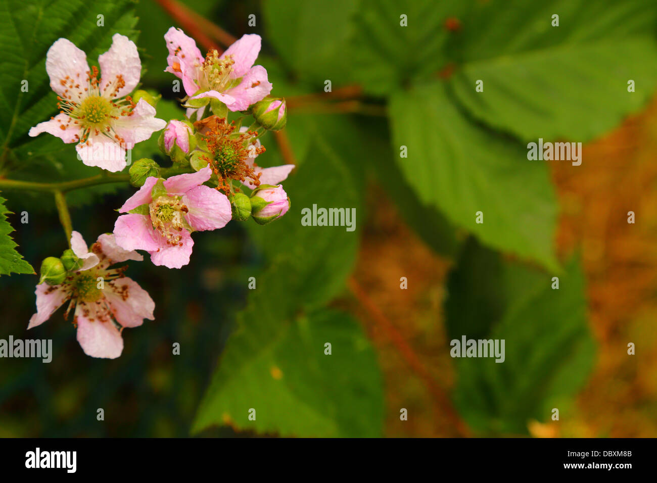 Wet Blackberry Flowers after Rain - Rubus fruticosus - No Sales on Alamy  or anywhere else - Stock Image