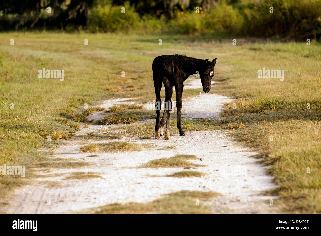 Florida Cracker foal stands on the trail damp after swimming. - Stock Image