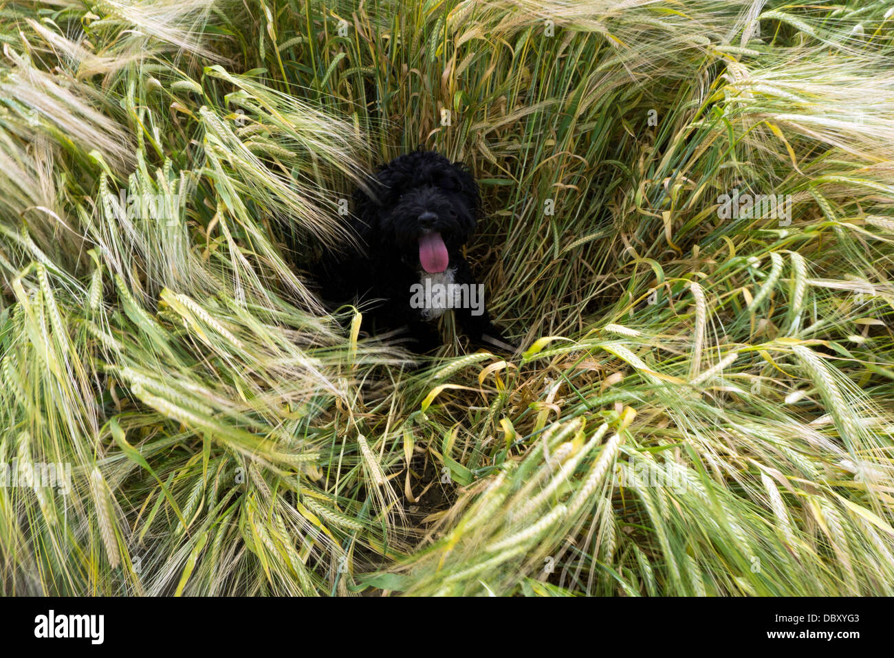 Dog sitting in a field - Stock Image