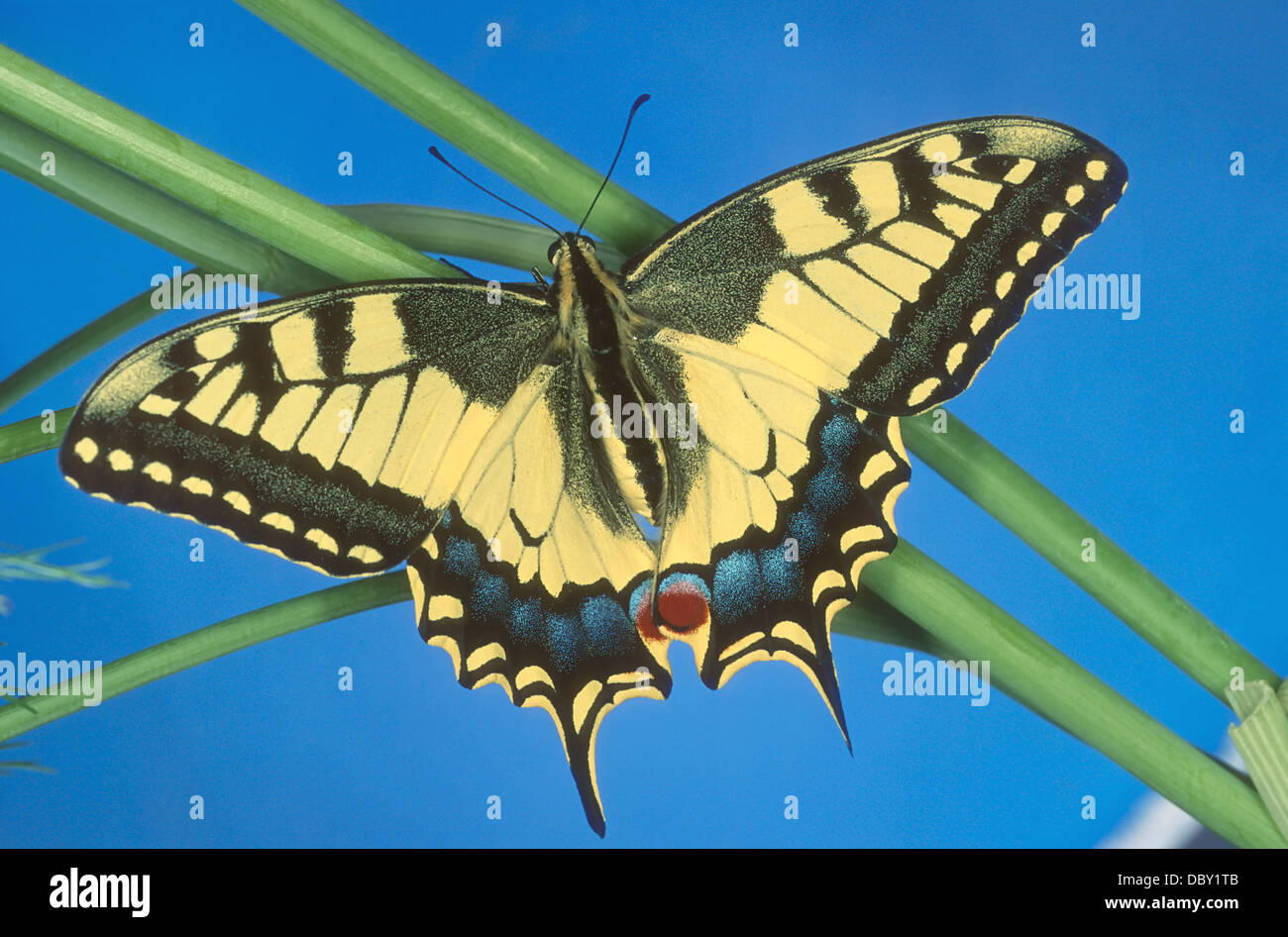 The Swallowtail is the U.K's  largest native butterfly, and also one of it's rarest. Papilio machaon. Stock Photo