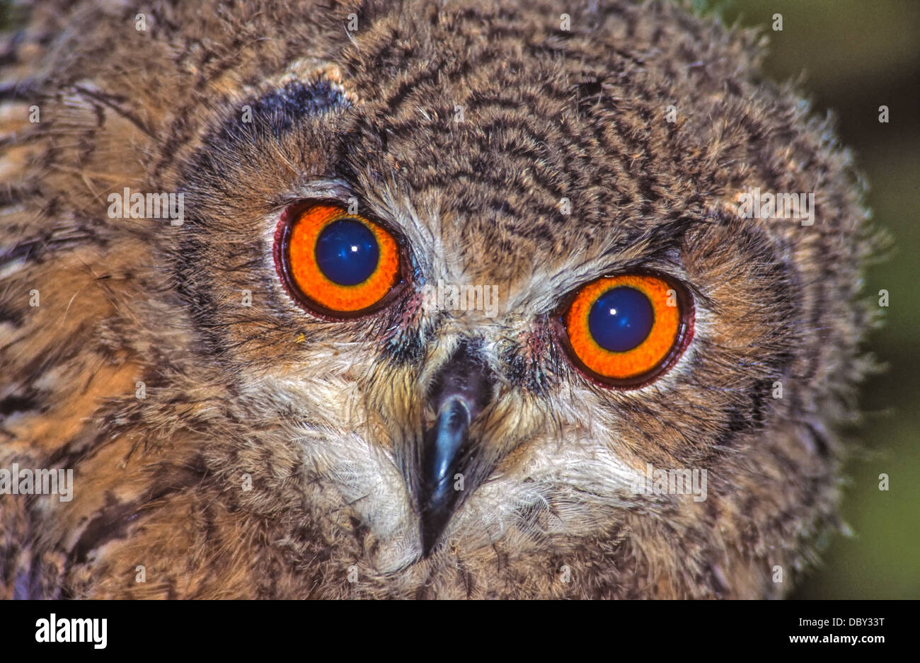 Owls are a group of birds that belong to the order Strigiformes, constituting 200 extant bird of prey species. Stock Photo