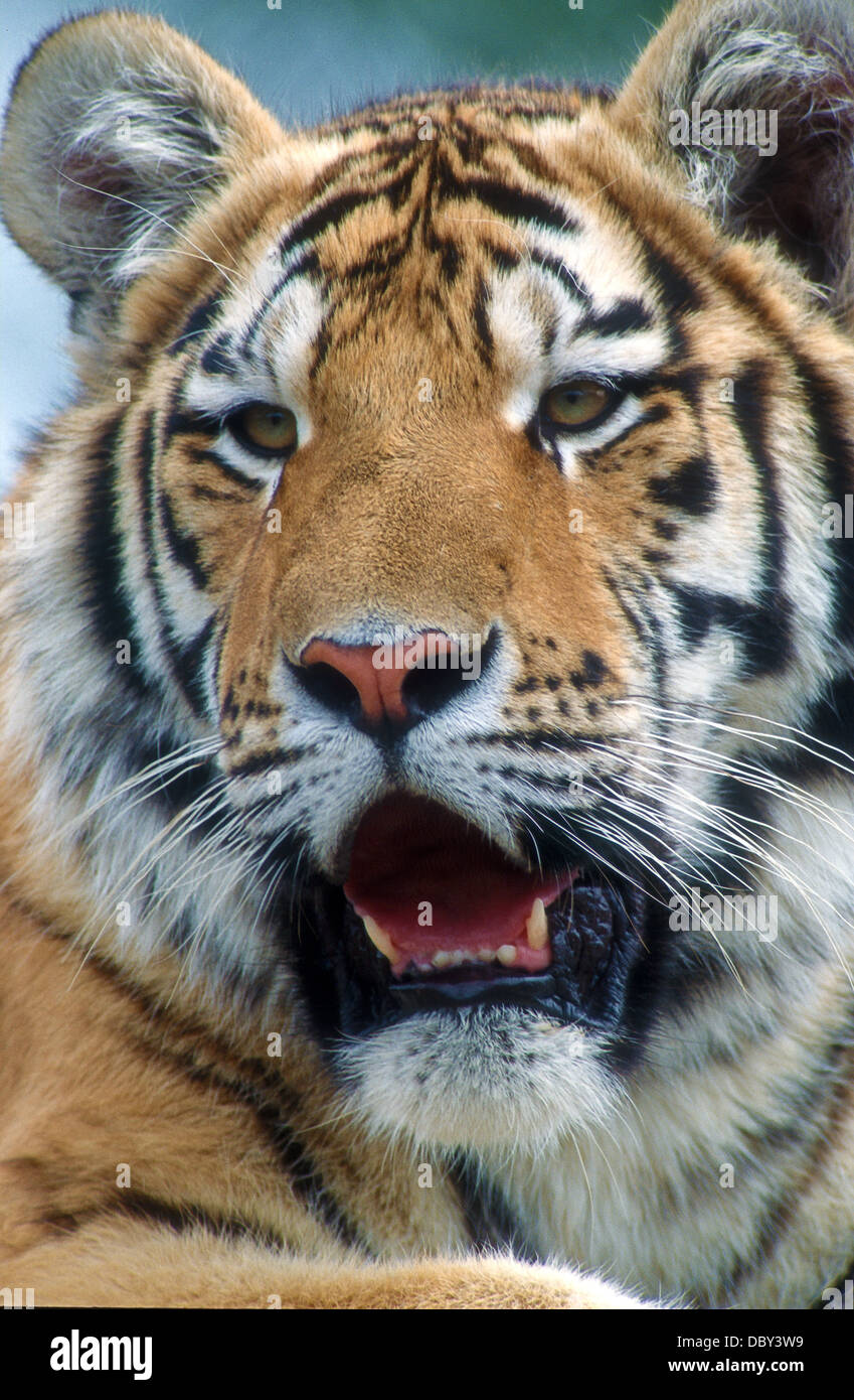 Bengal tiger (Panthera tigris tigris) is the most numerous tiger. Since 2010, it has been classified as an endangered Stock Photo