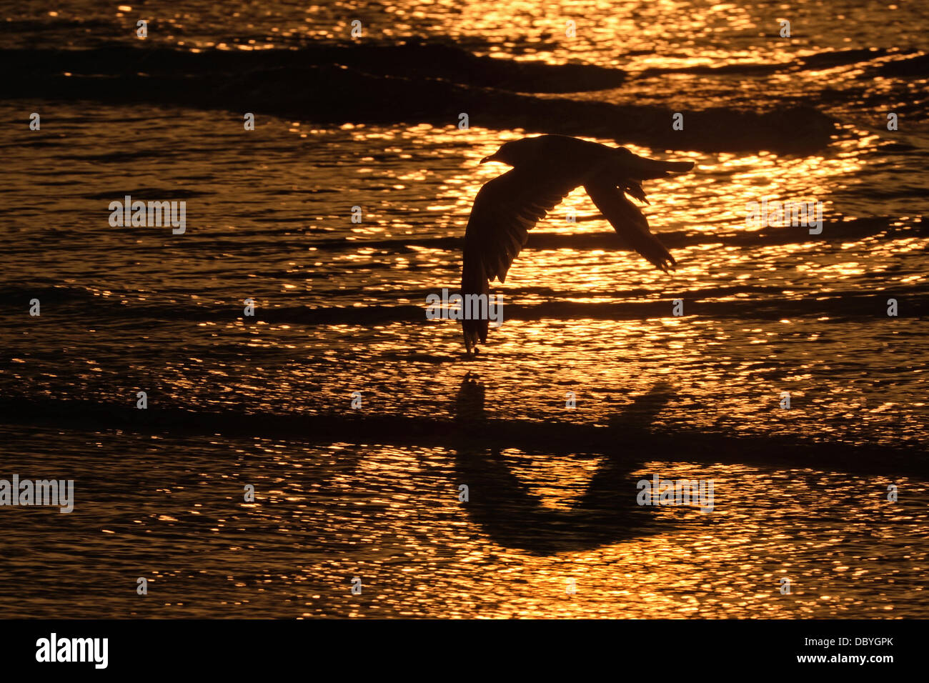 A seagull flies along the beach, while the sun sets in the background, in De Panne, Belgium, 02 August 2013. Photo: - Stock Image
