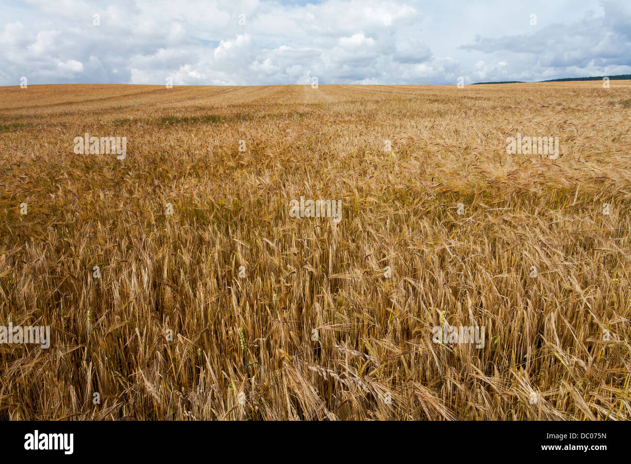 Barley field on the Cleveland Way footpath near Scarborough in North Yorkshire. Field almost ready for harvest. - Stock Image