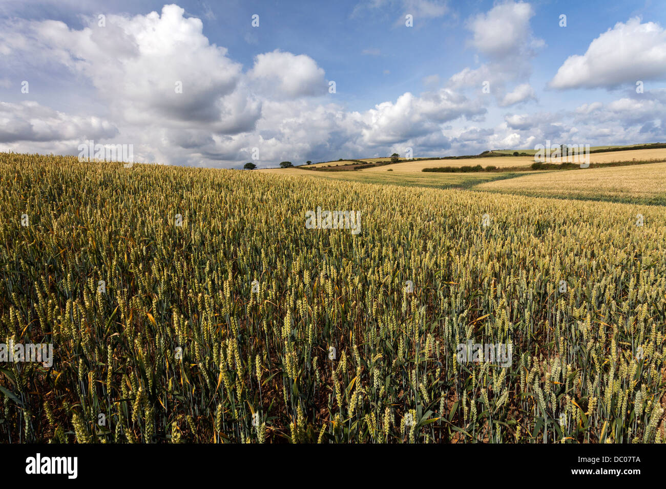 Wheat field in July with blue sky and white clouds above. Taken from the Cleveland Way footpath near Scarborough - Stock Image