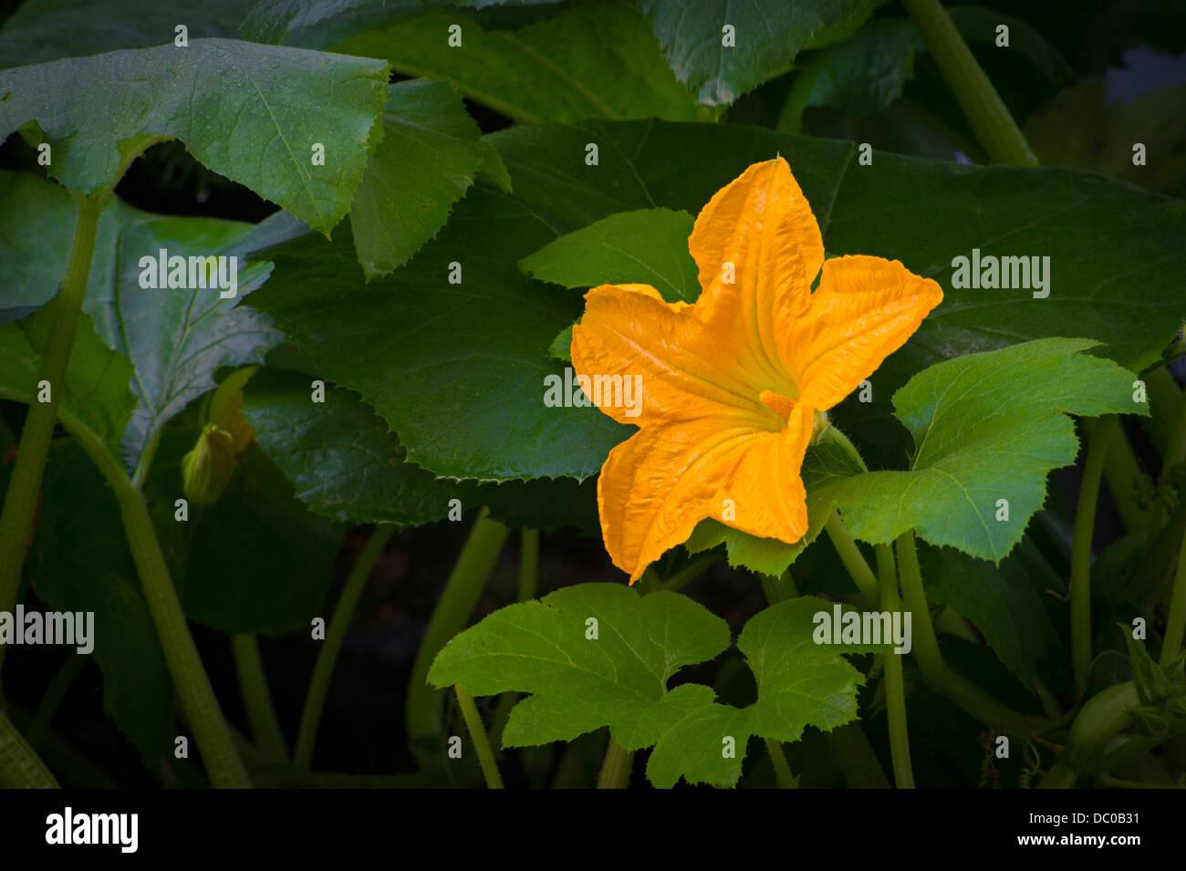 Yellow Flower On Gourd Vine Stock Photo 59015685 Alamy