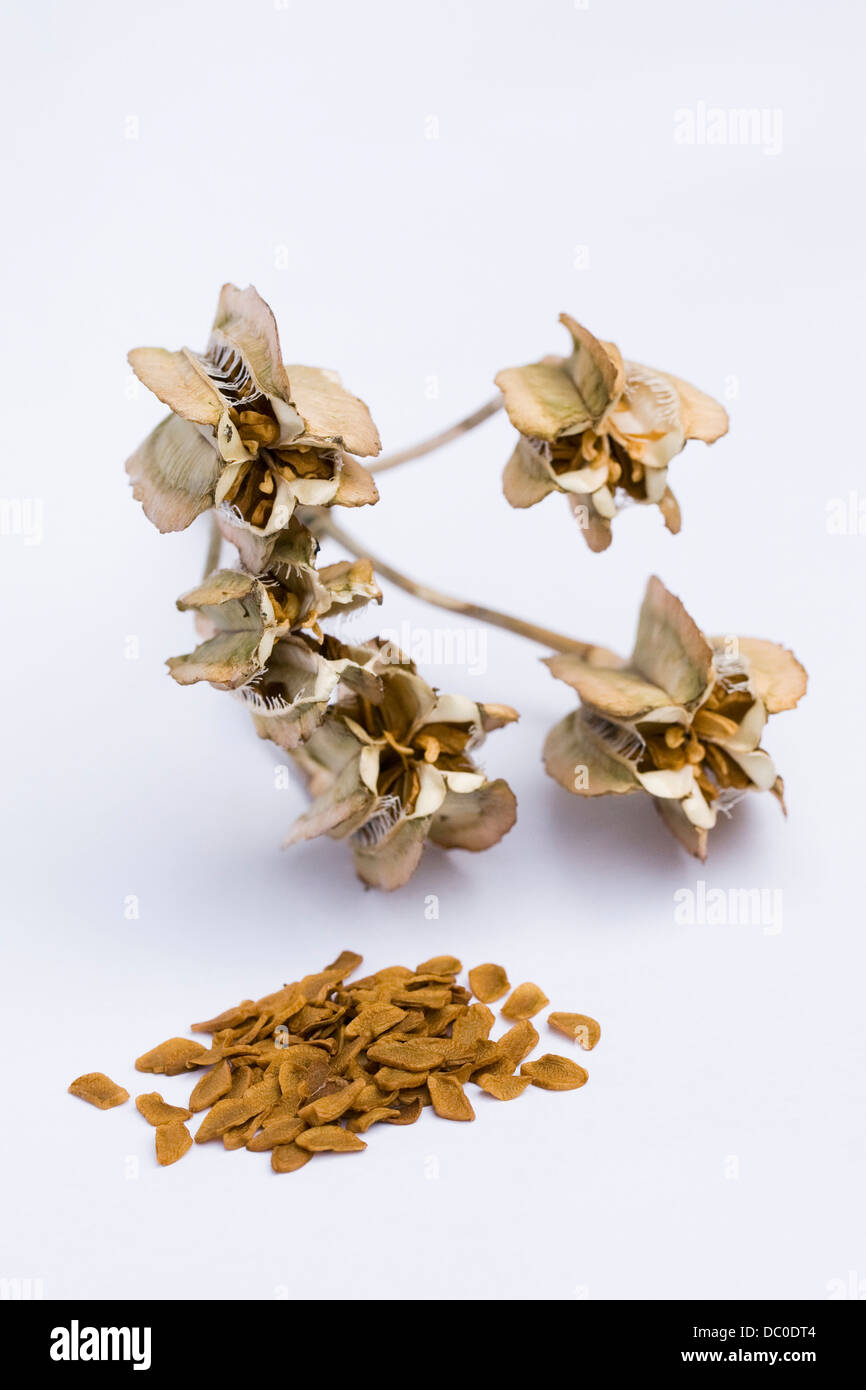 Fritillaria imperialis. Ripe seeds spilling from a seed pod on a white background. Stock Photo