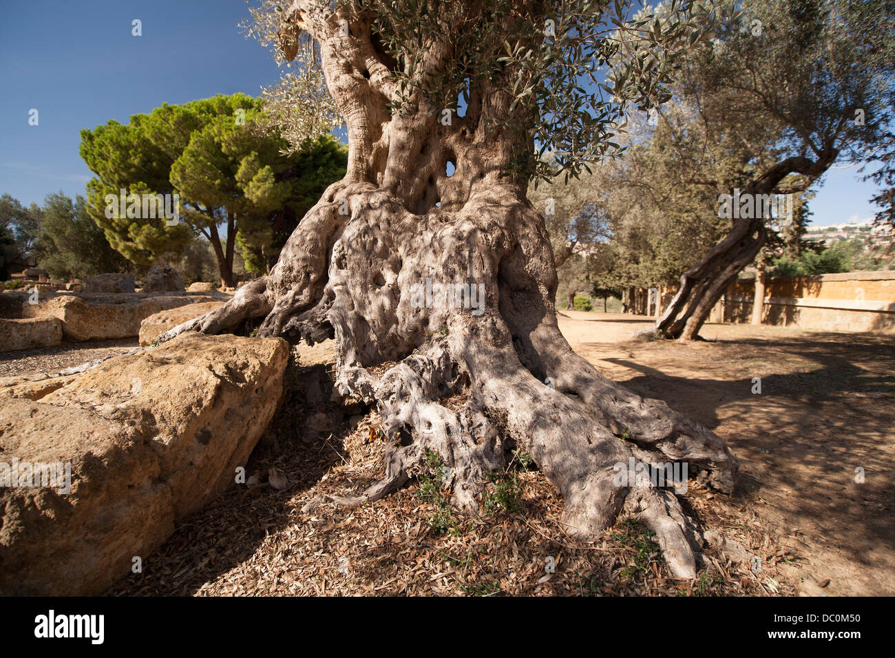 Giant olive tree root, Puglia Italy. - Stock Image