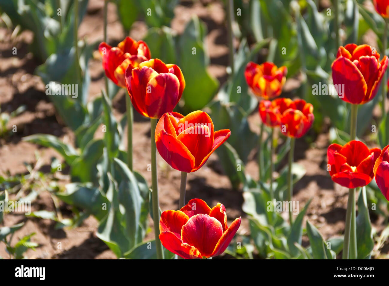 Yellow red color flowers india stock photos yellow red color red tulips with yellow tips inside the tulip garden in srinagar these are planted in mightylinksfo