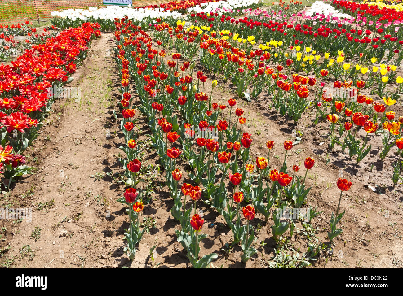 Rows of tulips of different colors inside the Tulip Garden in Stock ...