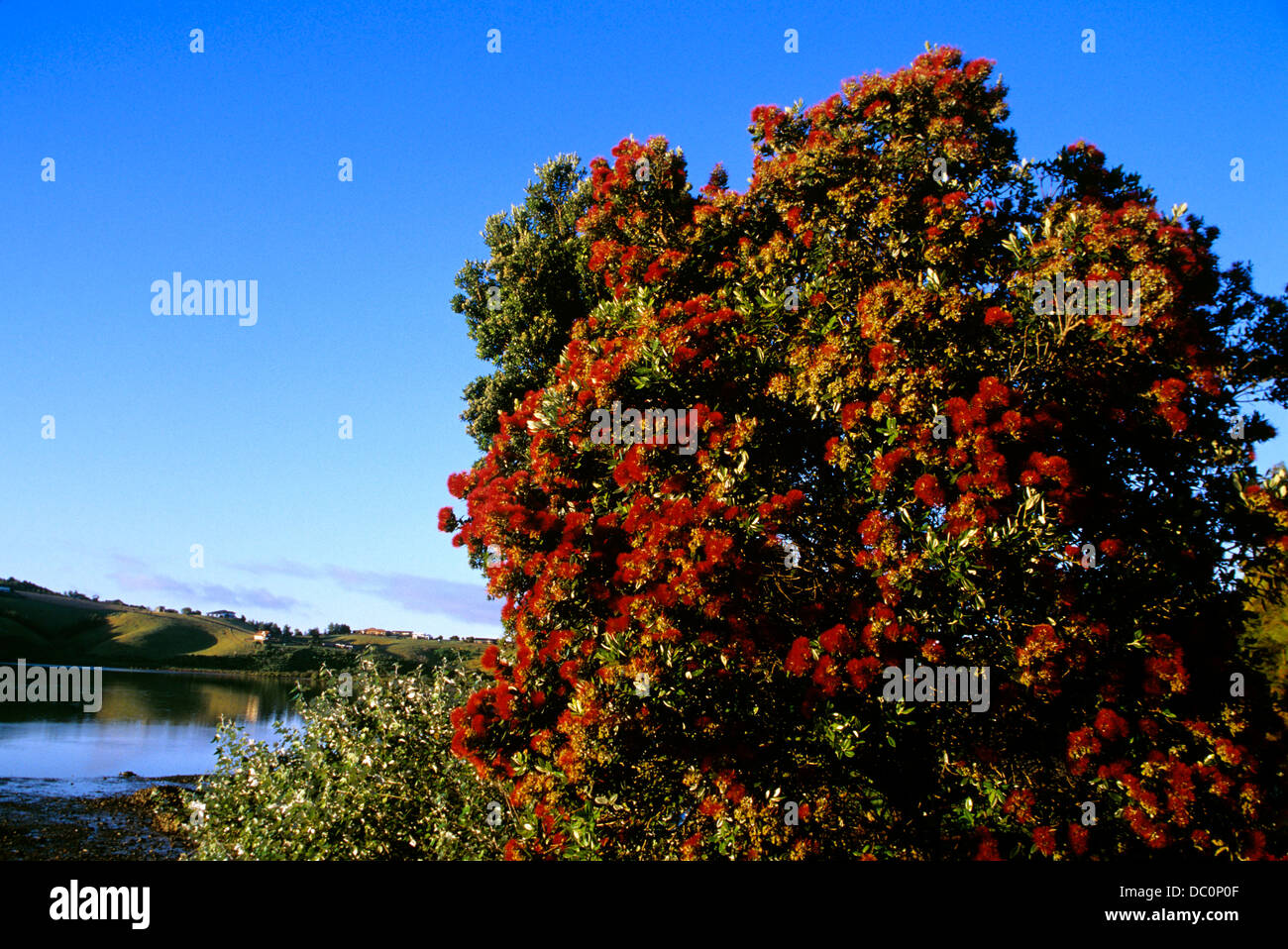 new zealand christmas tree in bloom stock image