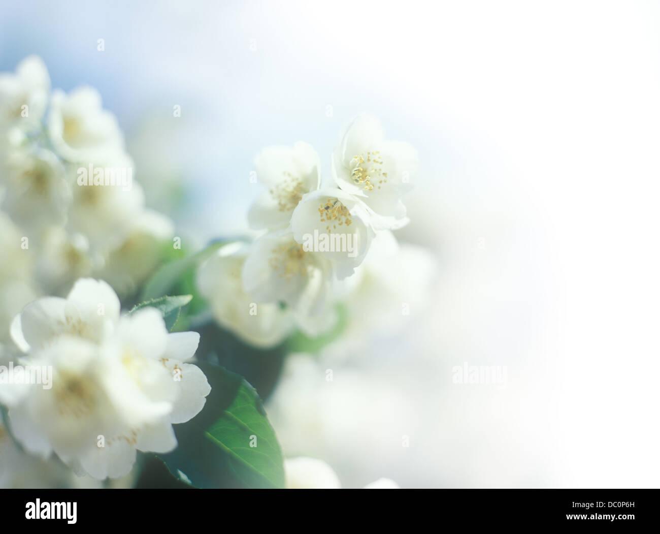 Jasmine border. - Stock Image