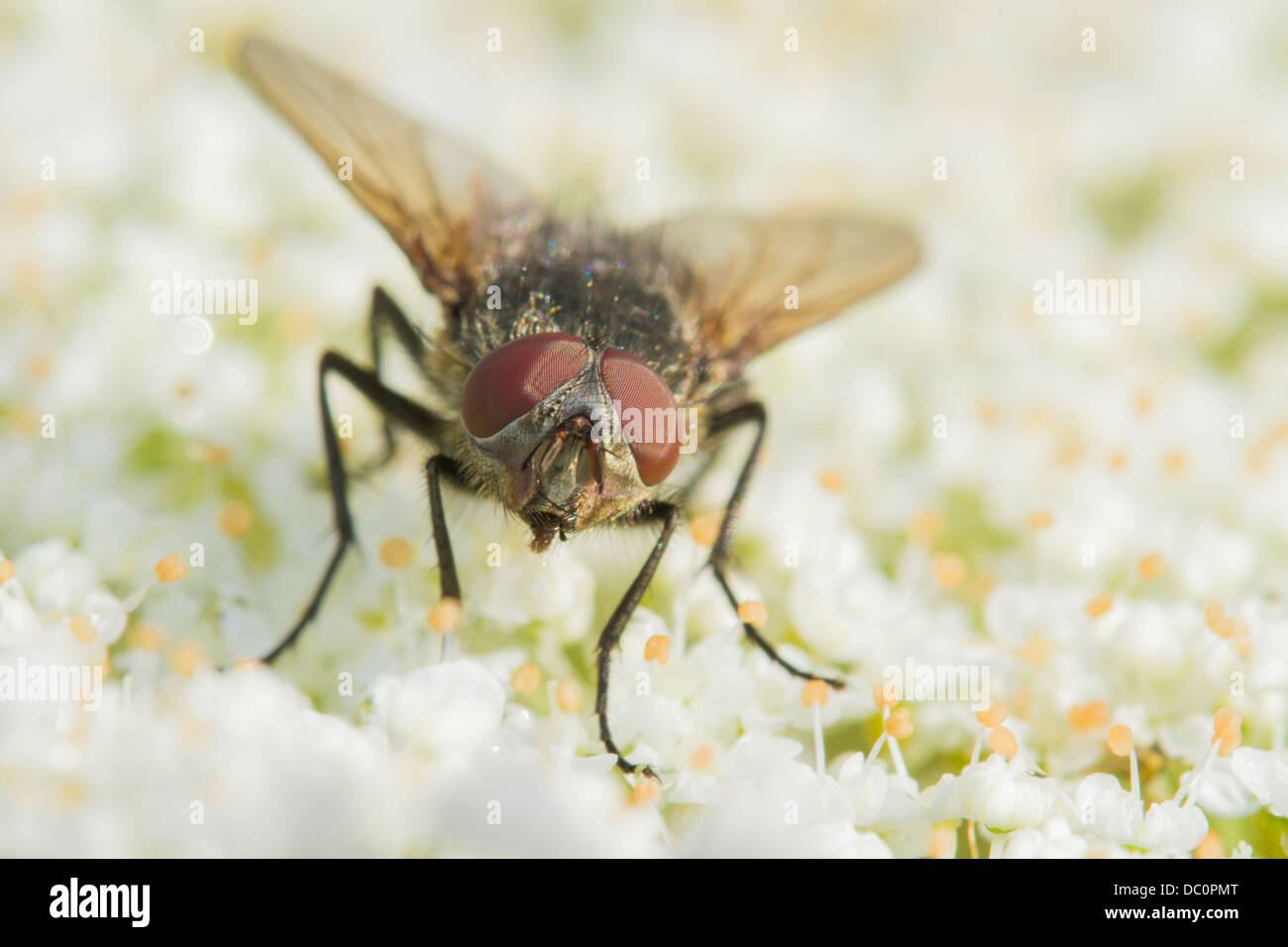 Tachinid fly perched on a white flower Stock Photo