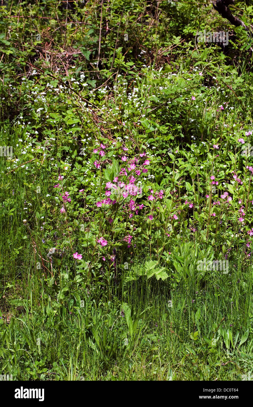 Red Campion growing at Jackson's Brickworks Middlewood Way Poynton Cheshire England. Stock Photo
