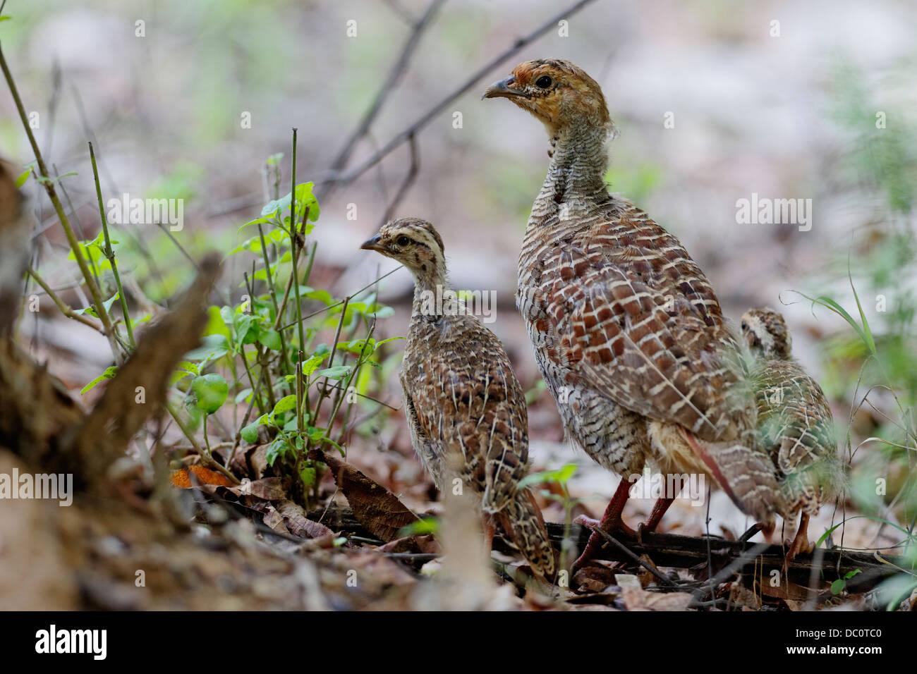 Grey Francolin Partridges (Francolinus pondicerianus) at Ranthambhore National Park, Rajasthan, India. - Stock Image