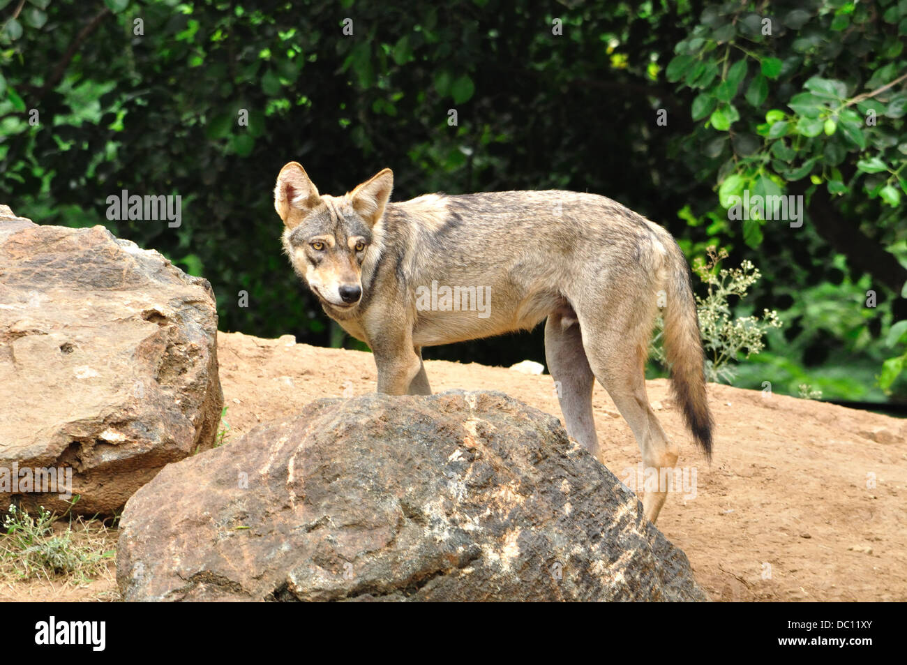 Indian Gray Wolf Stock Photo