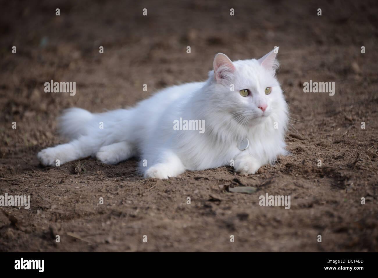 White Cat Fluffy Turkish Angora Cat Champion Pedigree Lying On Stock