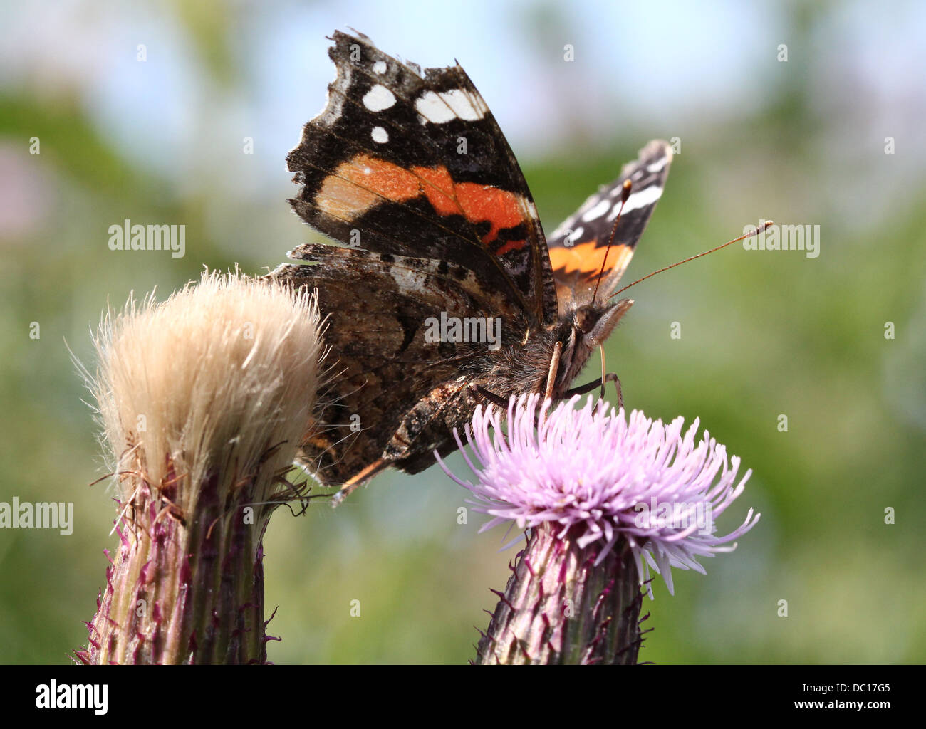 Red admiral butterfly (vanessa atalanta) feeding on a thistle flower - Stock Image