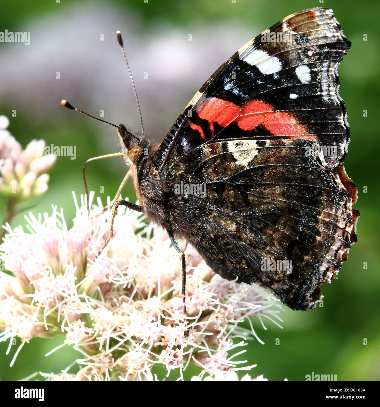 Red admiral butterfly (vanessa atalanta) Stock Photo
