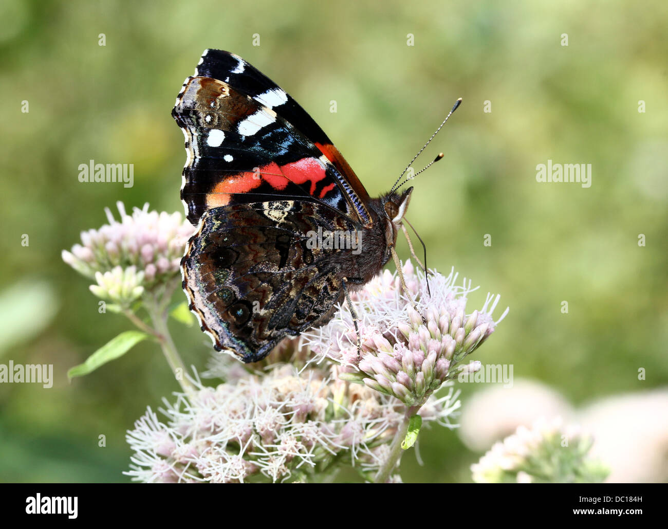 Red admiral butterfly (vanessa atalanta) wings closed, in profile - Stock Image