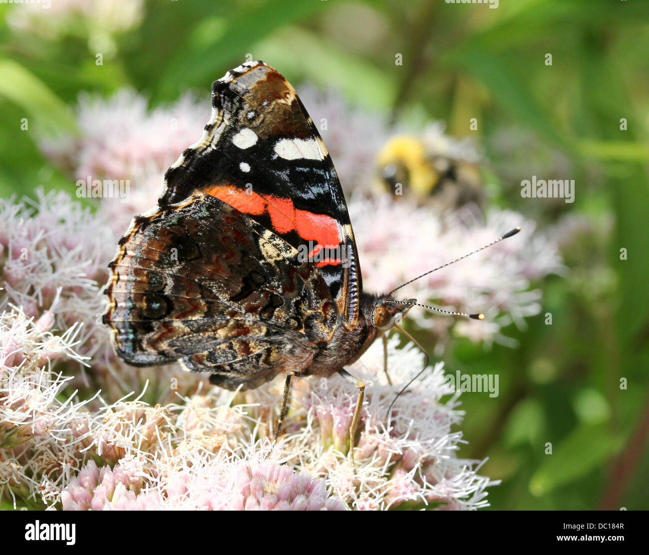 Macro of a Red admiral butterfly (vanessa atalanta) in various poses, wings opened, half-opened & closed (over - Stock Image