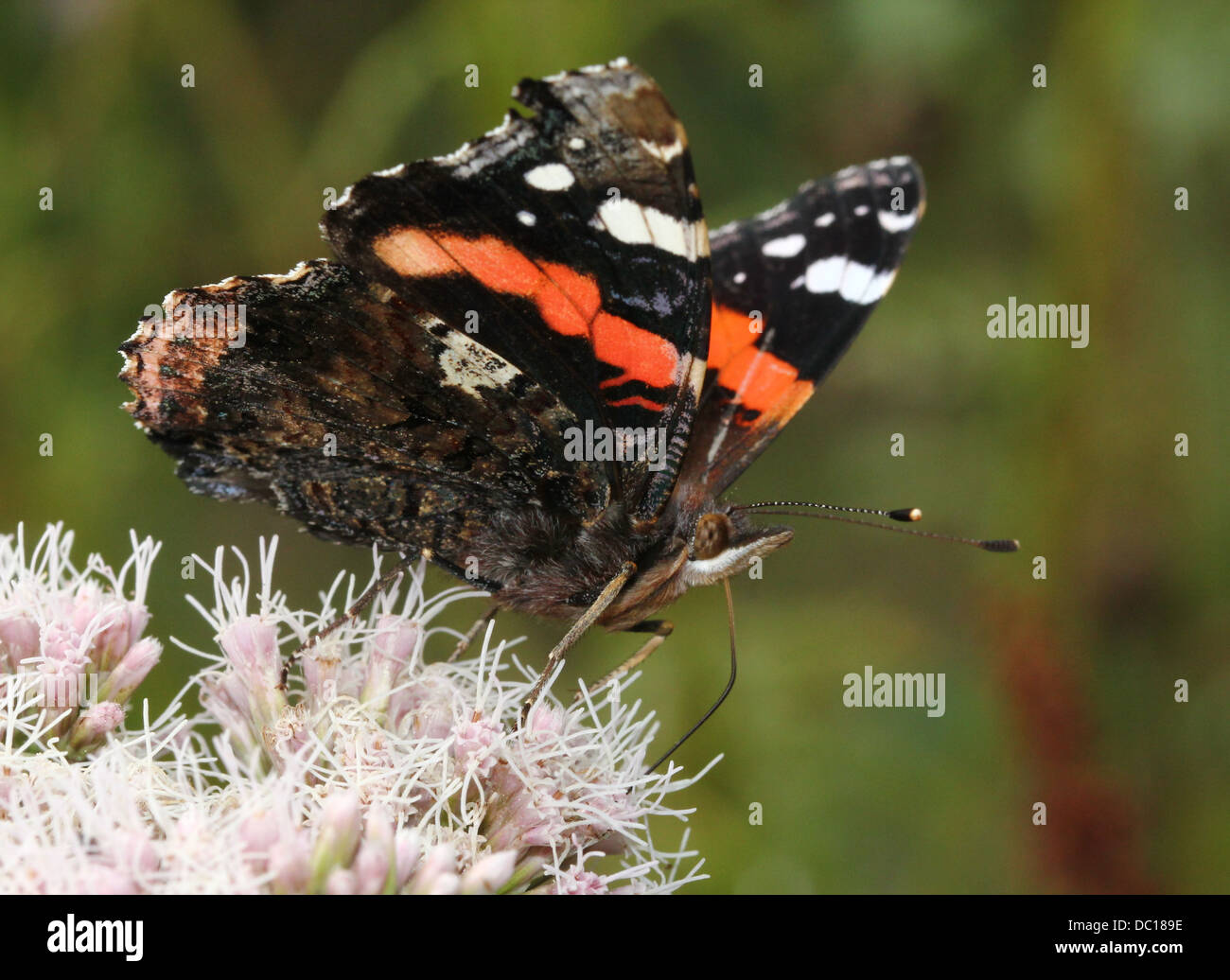 Red admiral butterfly (vanessa atalanta) wings opened, feeding on a pink flower in summer - Stock Image