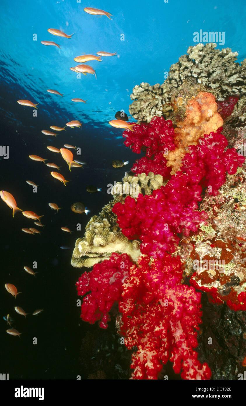 Scalefin Anthia Fish - Stock Image