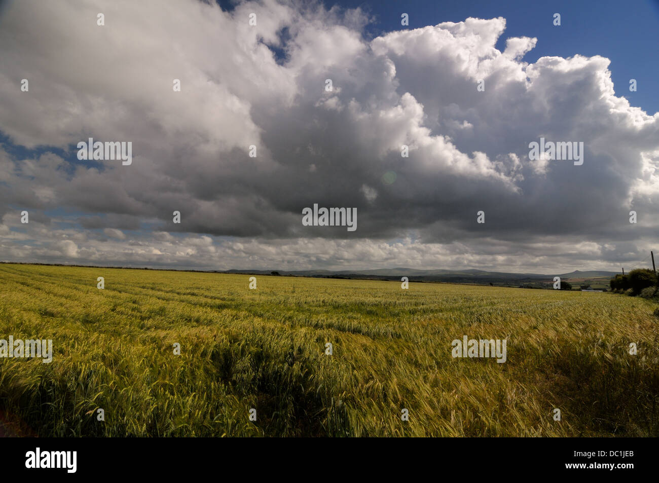 barley field thunder storm - Stock Image
