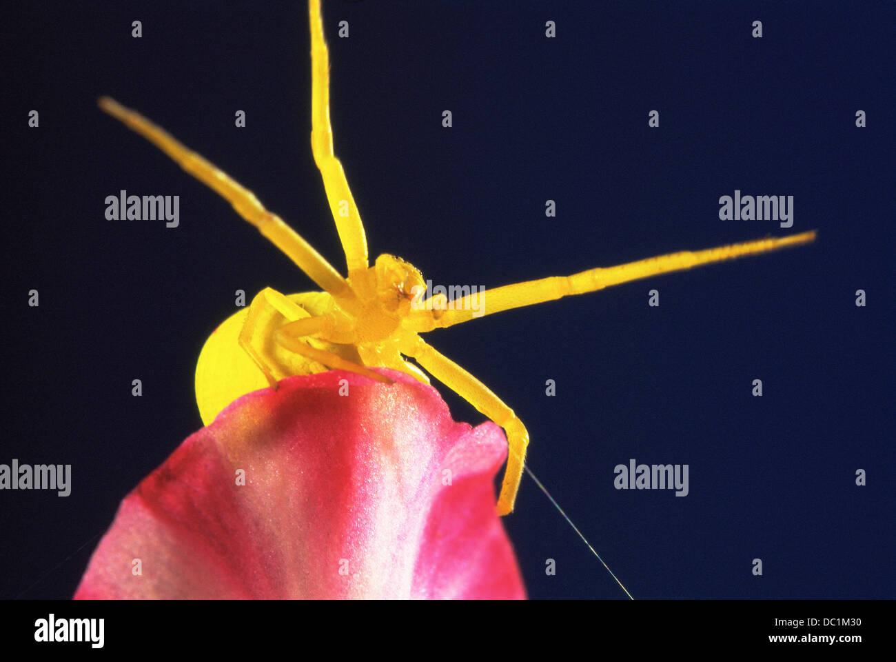 Spider (Enoplognatha ovata) - Stock Image
