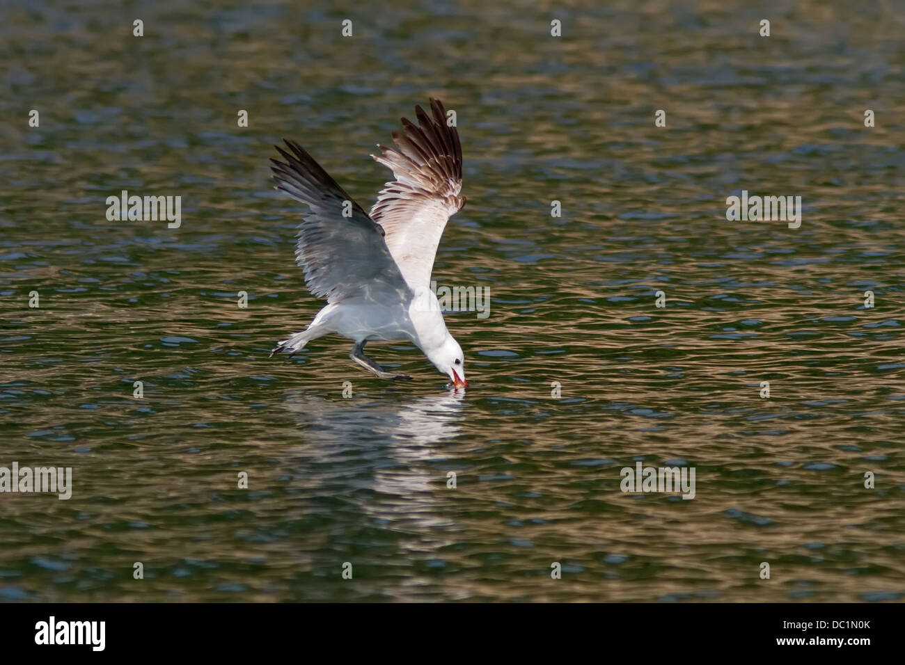 An Audouin's Gull (Larus audouinii) plunging its bill in the water looking for food - Stock Image